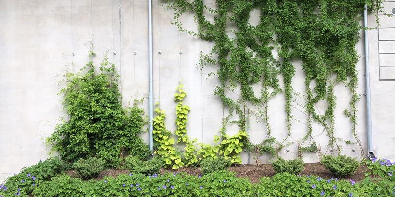 Låt klätterväxterna etableras med Gröna vajern från Veg Tech