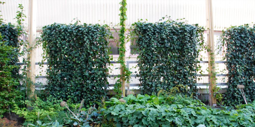 Växtskärmar med murgröna