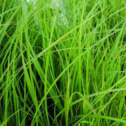 Carex elata, bunkestarr