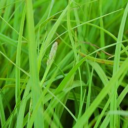 Carex panicea, hirsstarr