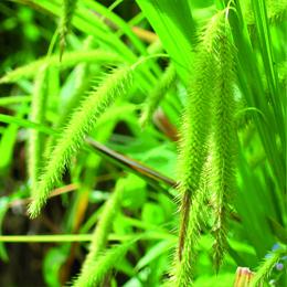Carex pseudocyperus, slokstarr