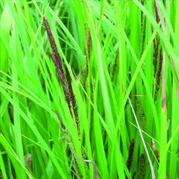 Carex acuta, vasstarr