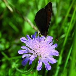 Knautia arvensis, åkervädd