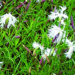 Dianthus arenarius, sandnejlika