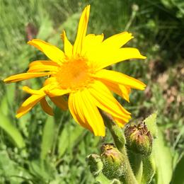 Arnica montana, slåttergubbe