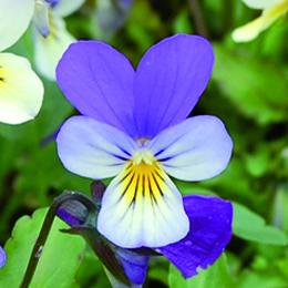 Viola canina, ängsviol