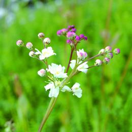 Filipendula vulgaris, brudbröd