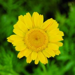 Anthemis tinctoria, färgkulla