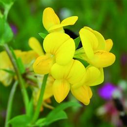 Lotus corniculatus, käringtand
