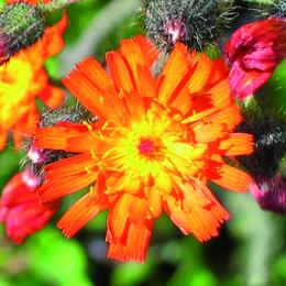 Pilosella aurantiaca, rödfibbla
