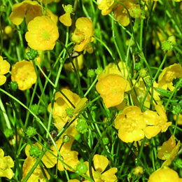 Ranunculus acris, smörblomma