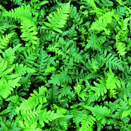 Polypodium vulgare, stensöta