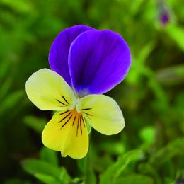 Viola tricolor, styvmorsviol