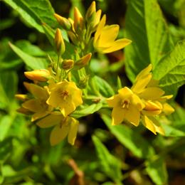 Lysimachia vulgaris, videört
