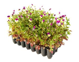 Örtpluggplantor från svenska floran