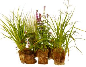 Maxipluggplantor för vattenmiljöer