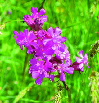 Viscaria vulgaris, tjärblomster