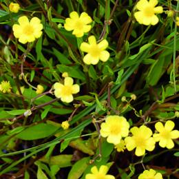 Ranunculus flammula, ältranunkel