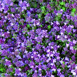 Thymus serphyllum, backtimjan