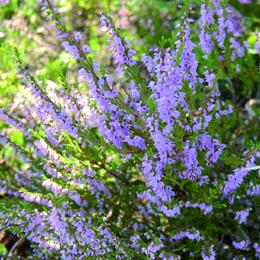 Calluna vulgaris, ljung