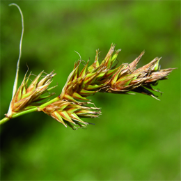 Carex arenaria, sandstarr